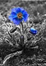 blaue-blume-sw